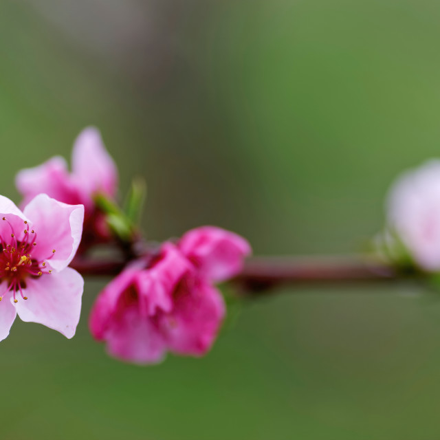 """Photo of a delicate pink peach flower"" stock image"