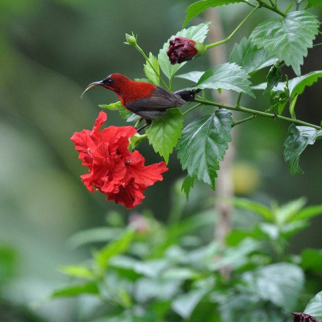 """Crimson Honeybird"" stock image"