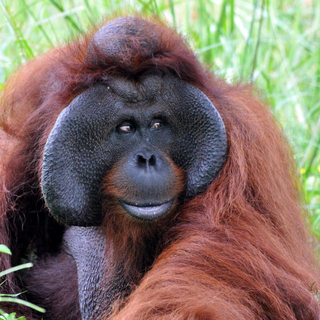 """Orangutan male"" stock image"