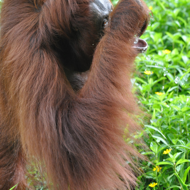 """Orangutan female drinking"" stock image"