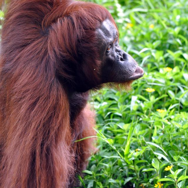 """Orangutan female"" stock image"