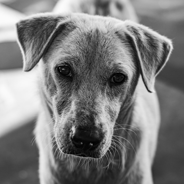 """A Lonely Dog in Black & White - The Philippines"" stock image"