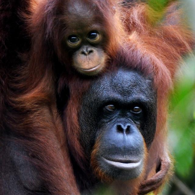 """""""Orangutan mother and daughter"""" stock image"""