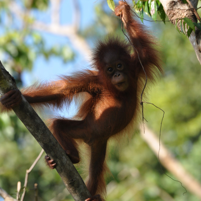 """Orangutan juvenile"" stock image"