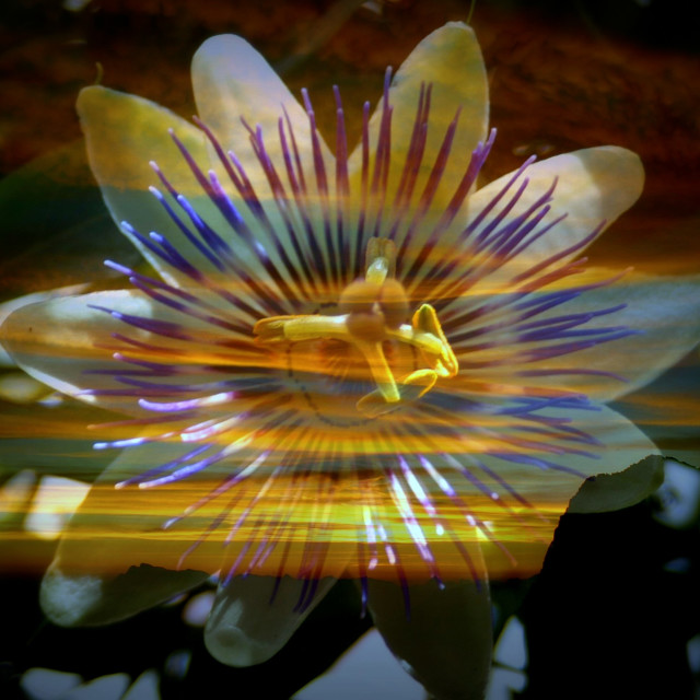 """""""Glowing passion(flower)"""" stock image"""