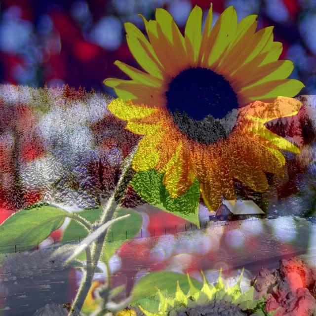 """Winter sunflower"" stock image"