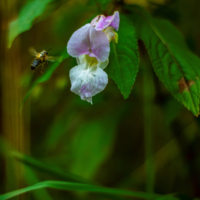 """Honeybee Entering A Dayflower - UK"" stock image"