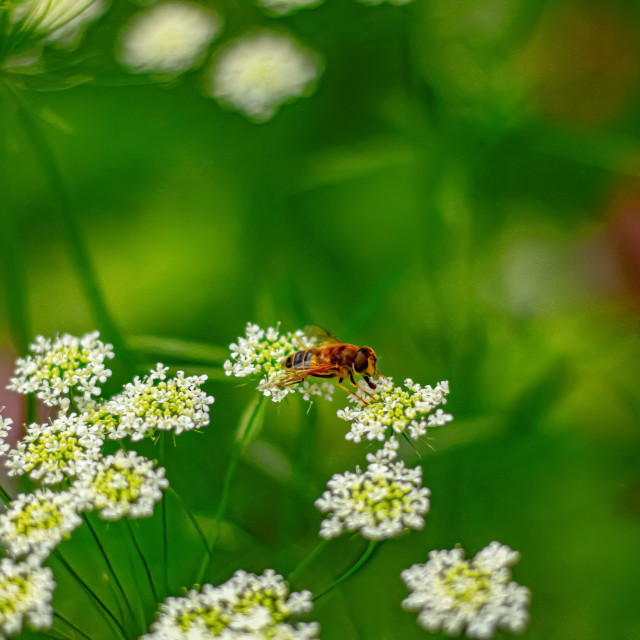 """Hoverfly Eating Nectar From Some Cow Parsley - UK"" stock image"