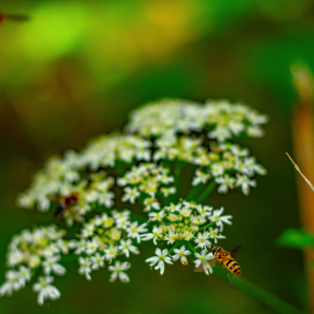 """Group of Hoverflies Eating Cow Parsley - UK"" stock image"