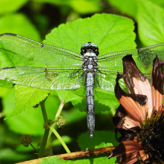 """Dragonfly Magic"" stock image"