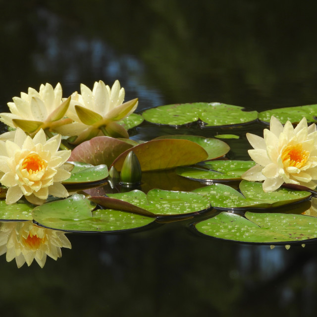 """""""Four Waterlilies with Reflection"""" stock image"""