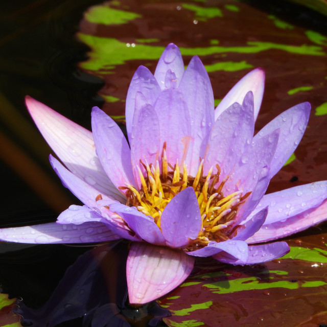 """""""Close up of Lavender-Colored Waterlily"""" stock image"""
