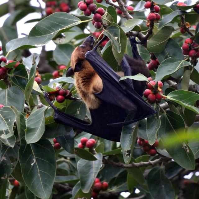 """""""Flying Fox Fruitbat"""" stock image"""