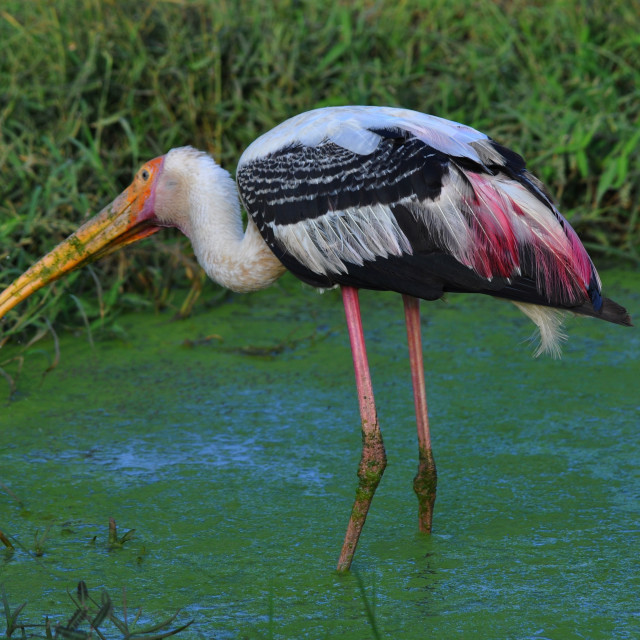 """""""Painted Stork"""" stock image"""