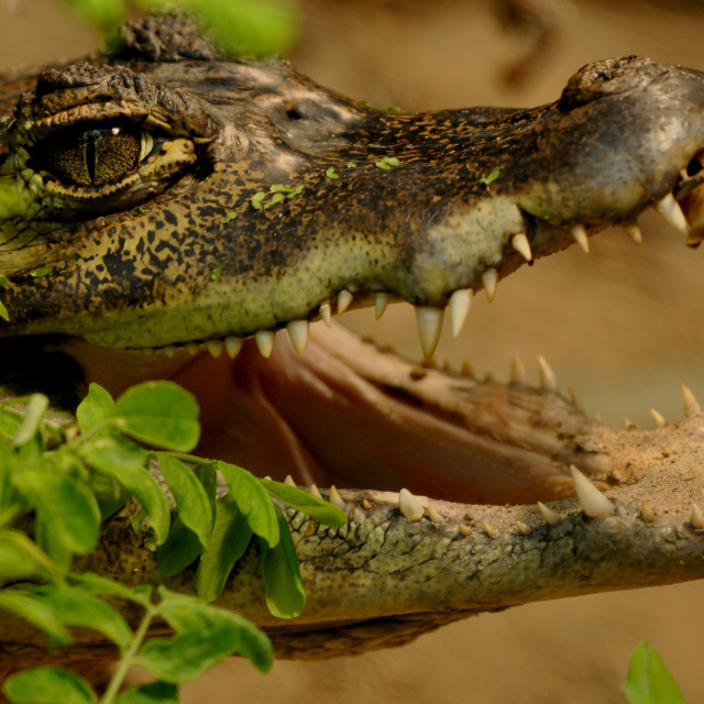 """""""Spectacled Caiman"""" stock image"""