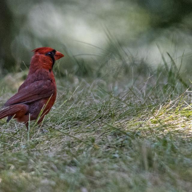 """""""The northern cardinal (Cardinalis cardinalis) Male"""" stock image"""