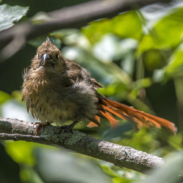"""""""The northern cardinal (Cardinalis cardinalis) Female"""" stock image"""