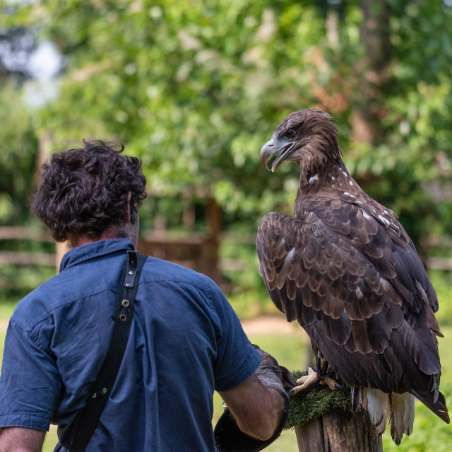 """Falconer seen from behind next to a golden eagle"" stock image"