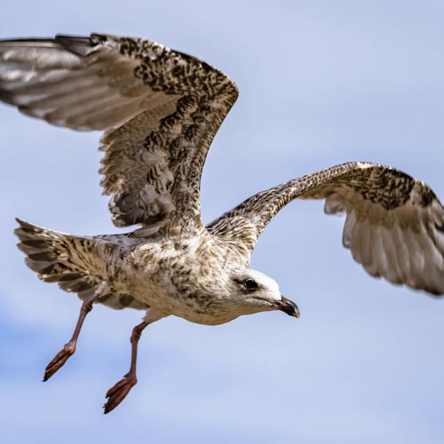 """Seagull from Kingsand, Cornwall UK."" stock image"