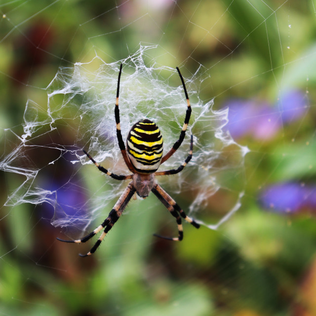 """""""Argiope Aurantia (spider)"""" stock image"""