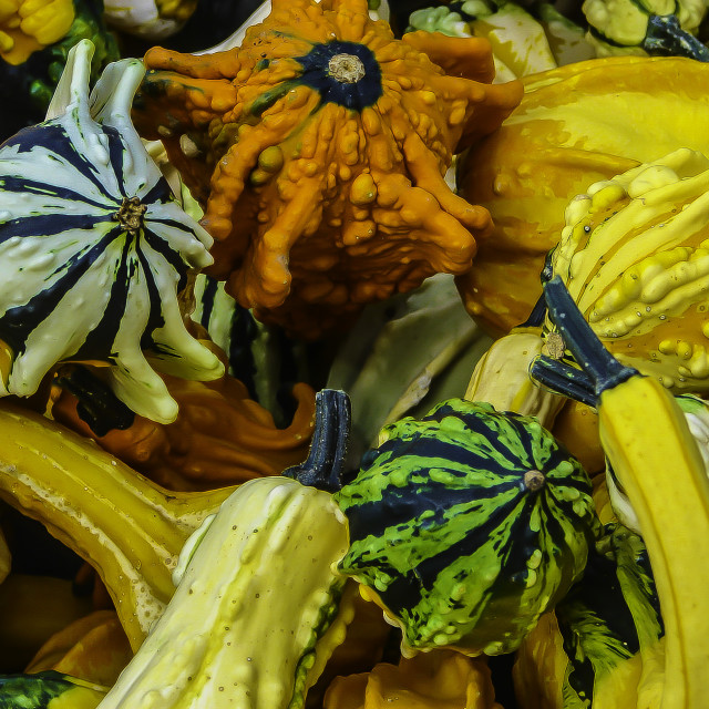 """Gourds"" stock image"