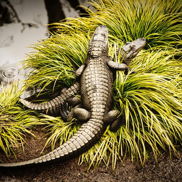 """The Gators"" stock image"
