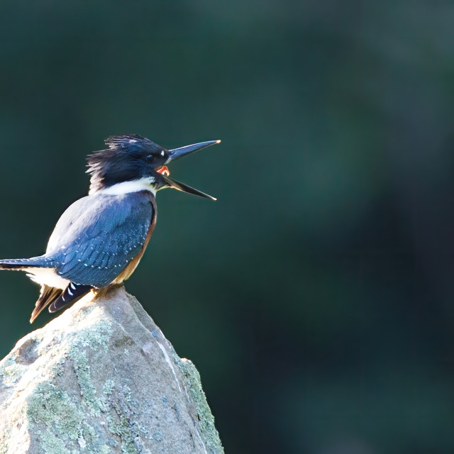 """""""Belted Kingfisher 2"""" stock image"""