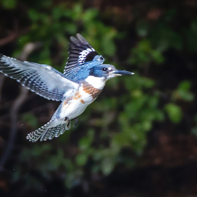 """""""Belted Kingfisher 4"""" stock image"""
