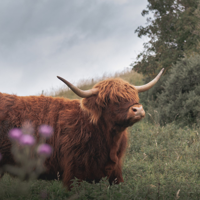 """""""The Posing Coo"""" stock image"""