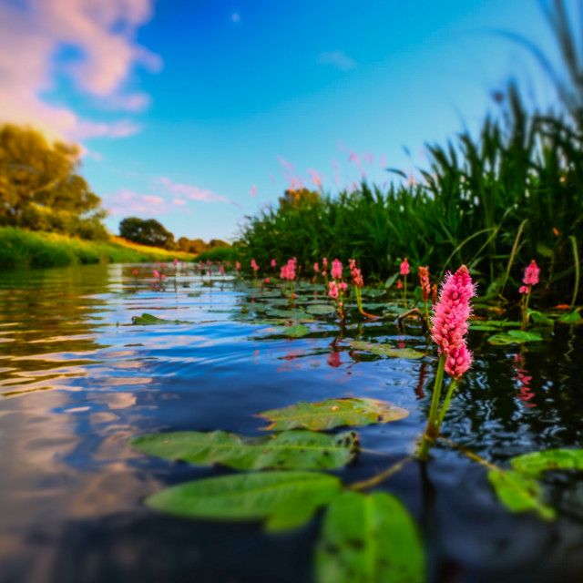 """Water knotweed sunset"" stock image"