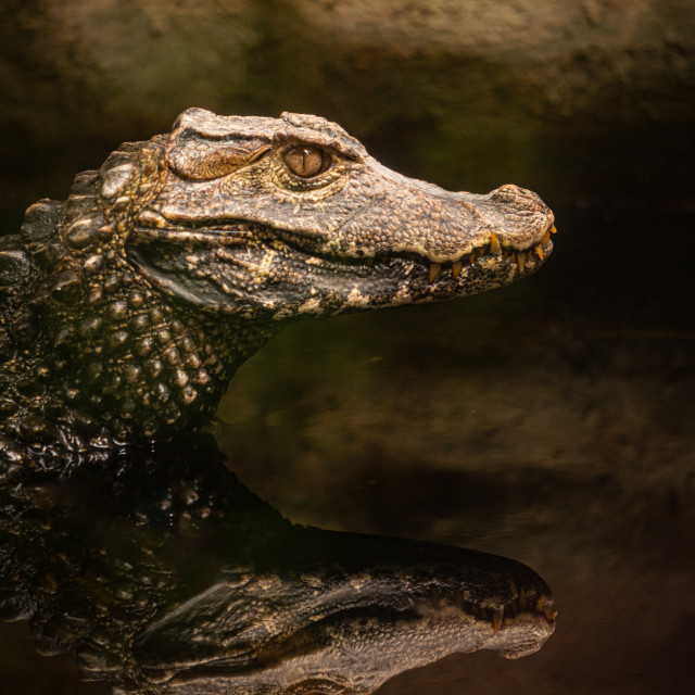 """Portrait of caiman reflected in the water of a swamp"" stock image"