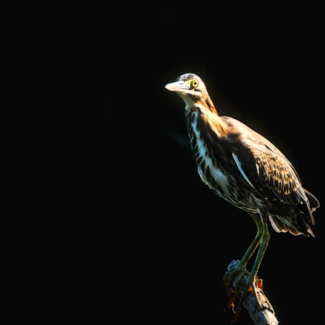 """Little Green Heron Portrait"" stock image"