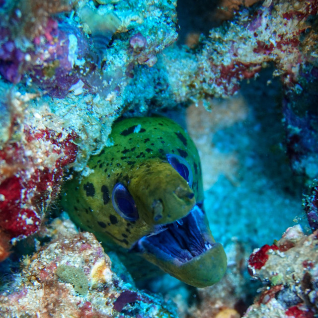 """""""Fimbriated Moray in a reef, Indonesia"""" stock image"""