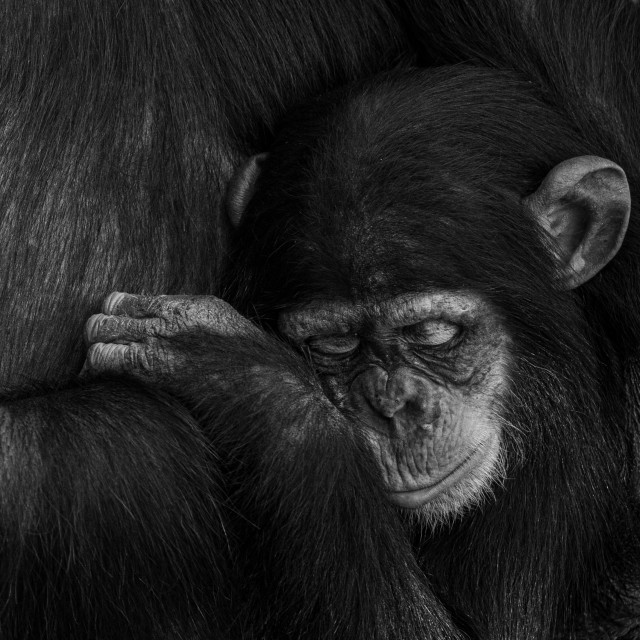 """Young chimpanzee sleeping with its mother"" stock image"