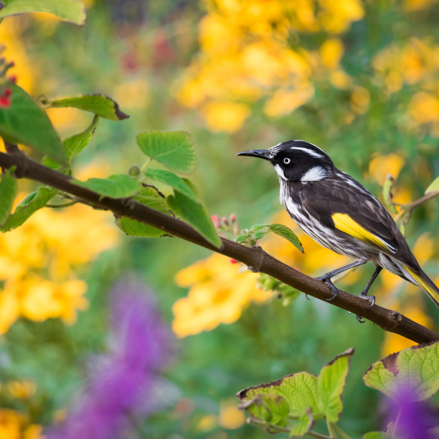 """""""New Holland Honeyeater Foraging Among The Flowers"""" stock image"""