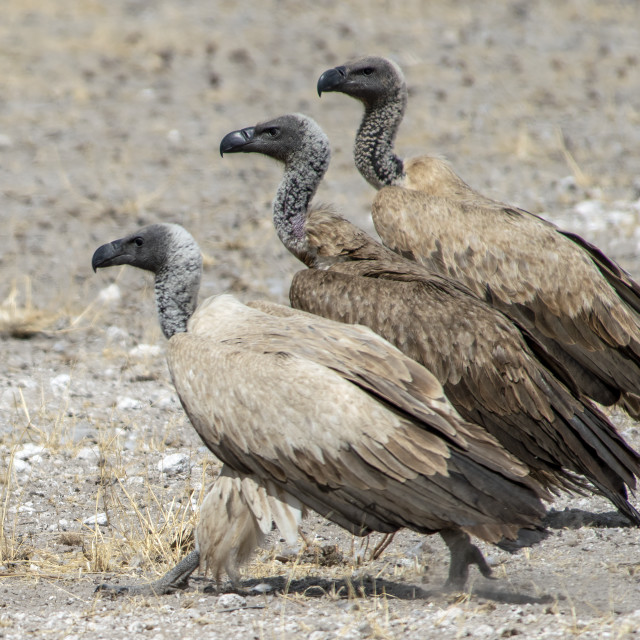 """""""Vulture parade"""" stock image"""