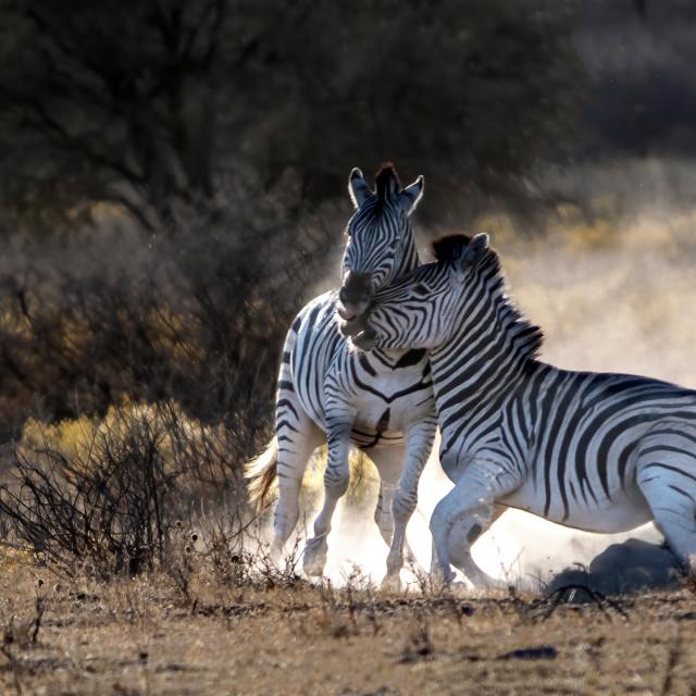"""Zebra dance"" stock image"