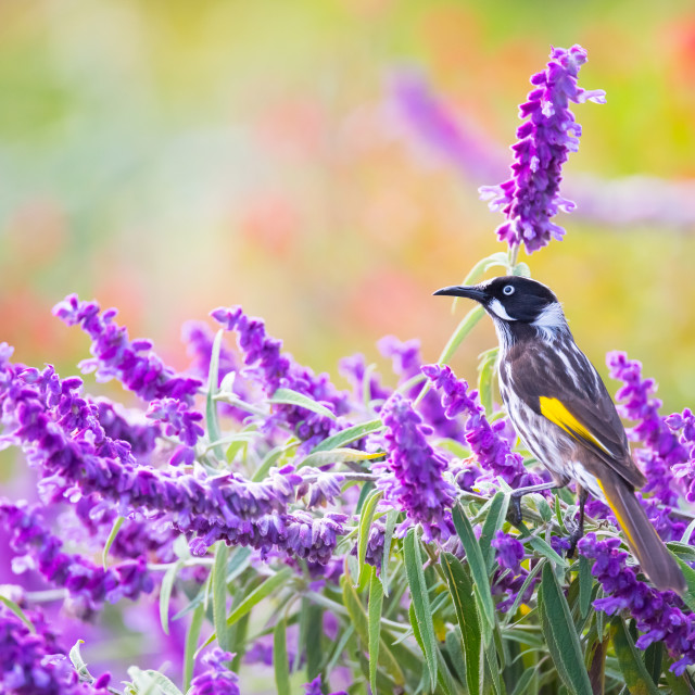 """""""New Holland Honeyeater Foraging in Mexican Bush Sage"""" stock image"""