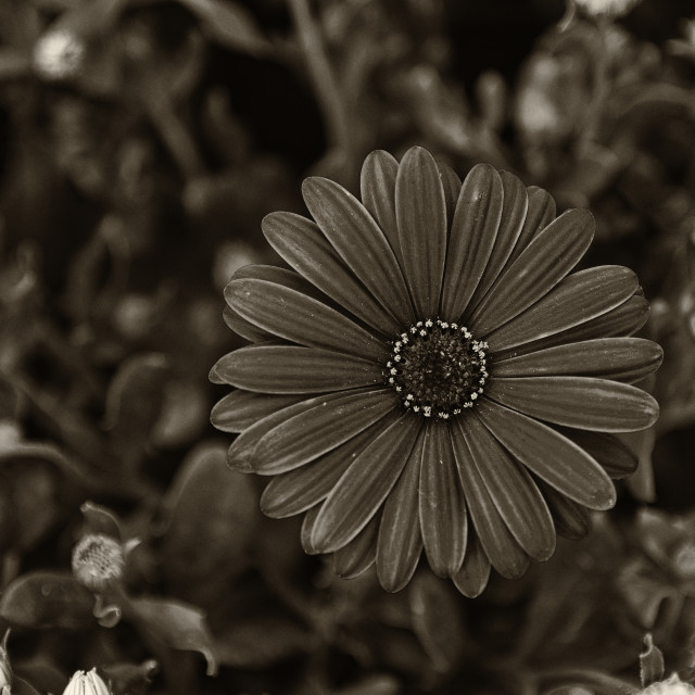 """Purple Daisy Flowers Osteospermum Plant in BW"" stock image"