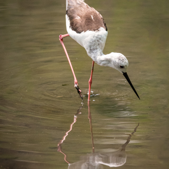 """Black-winged stilt is reflected in the water of a pond in search"" stock image"