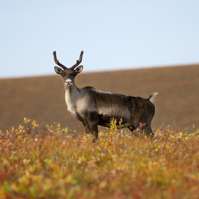 """""""Young Caribou"""" stock image"""