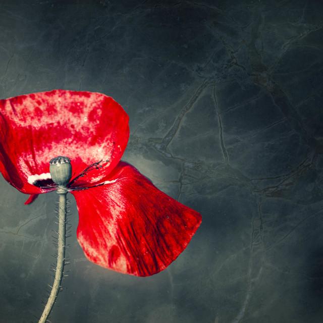 """A wilting Poppy, Cambridge UK."" stock image"