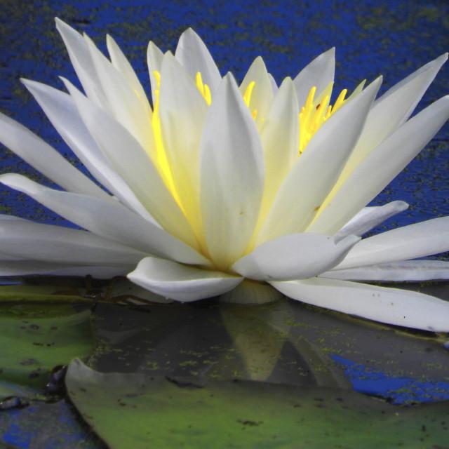 """White Waterlilies - Image 9"" stock image"