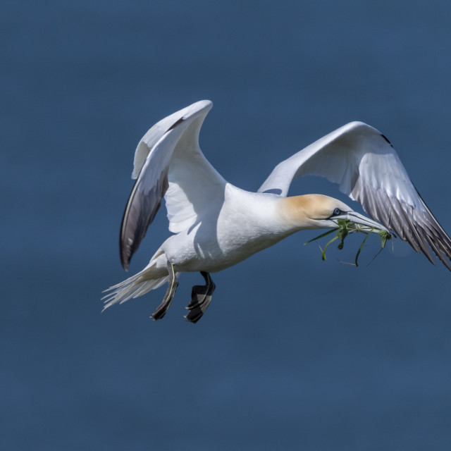 """Gannet in flight with nesting material."" stock image"