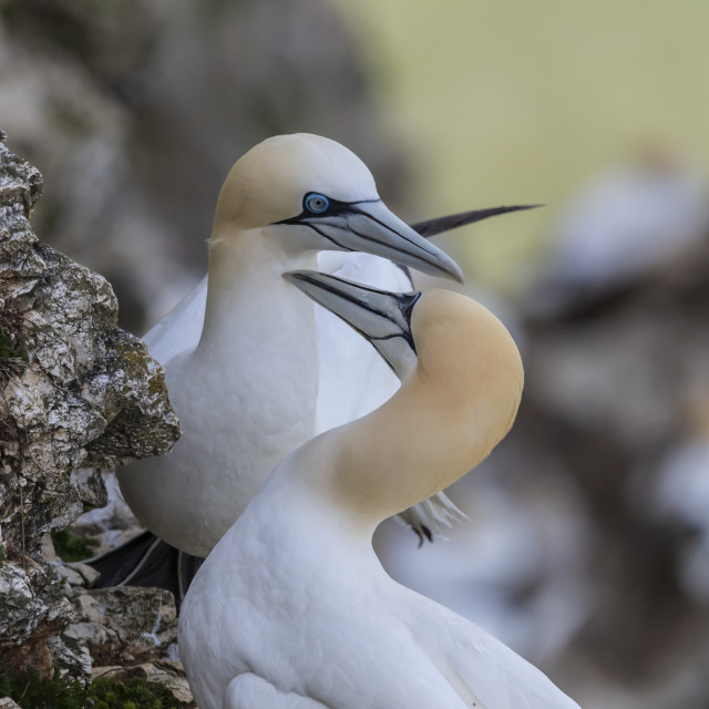 """Gannets in a mating ritual."" stock image"