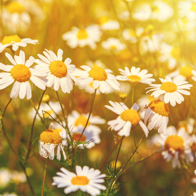 """""""Camomile in the meadow"""" stock image"""