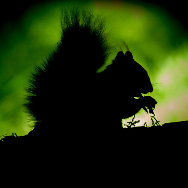 """Backlit red squirrel"" stock image"
