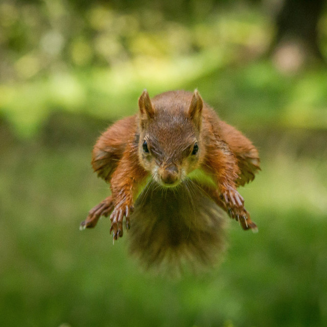 """Flying squirrel"" stock image"