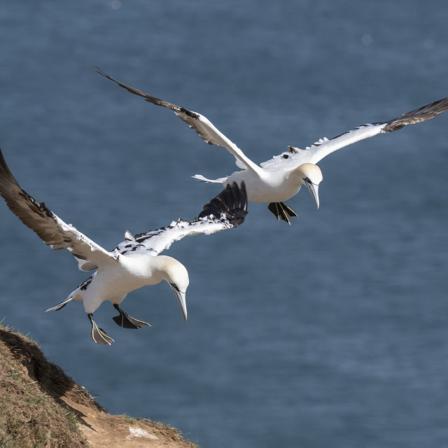 """Gannets in flight over the cliff"" stock image"