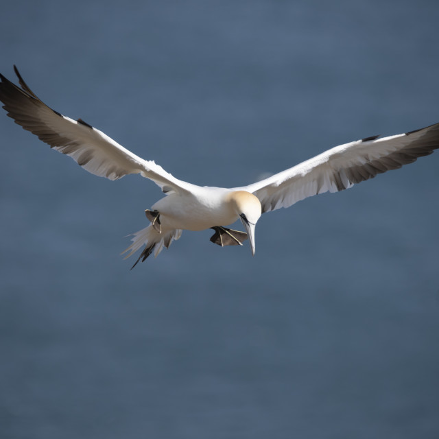 """Gannet in flight."" stock image"